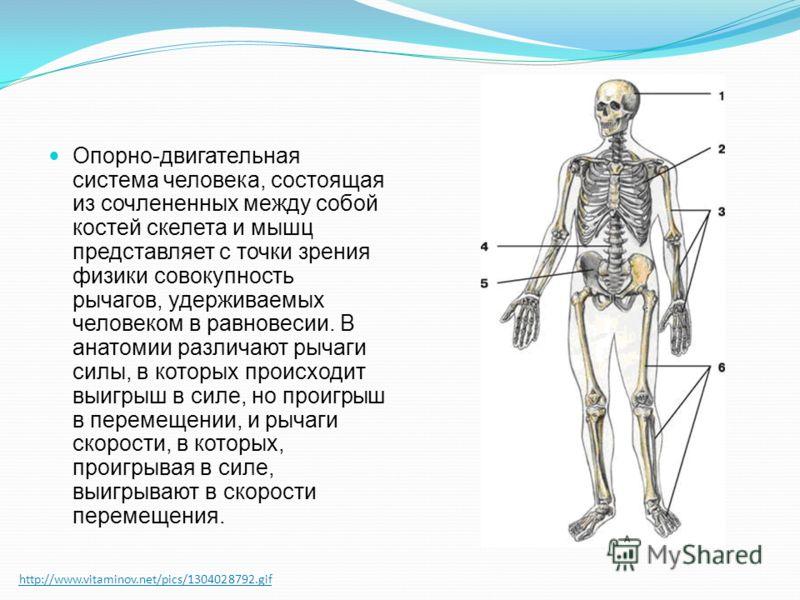 http://www.vitaminov.net/pics/1304028792.gif Опорно-двигательная система человека, состоящая из сочлененных между собой костей скелета и мышц представляет с точки зрения физики совокупность рычагов, удерживаемых человеком в равновесии. В анатомии раз