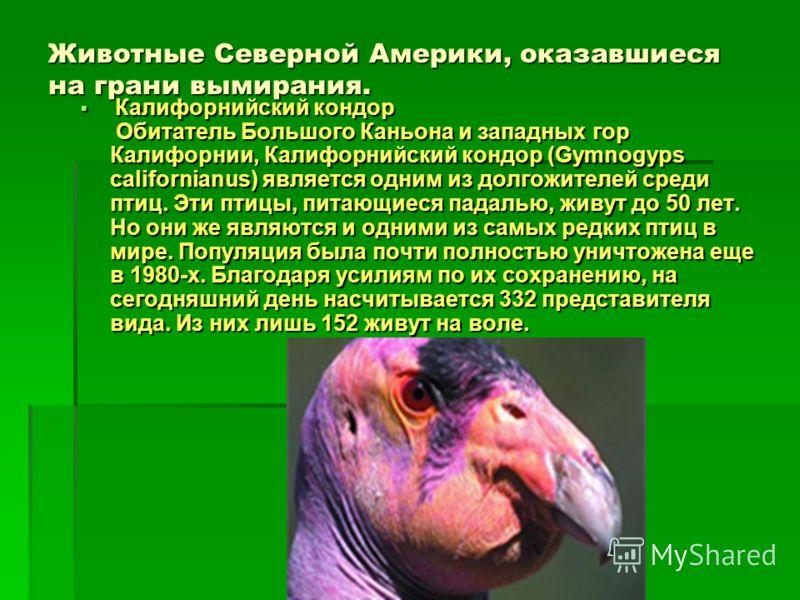 Животные Северной Америки, оказавшиеся на грани вымирания. Калифорнийский кондор Обитатель Большого Каньона и западных гор Калифорнии, Калифорнийский кондор (Gymnogyps californianus) является одним из долгожителей среди птиц. Эти птицы, питающиеся па