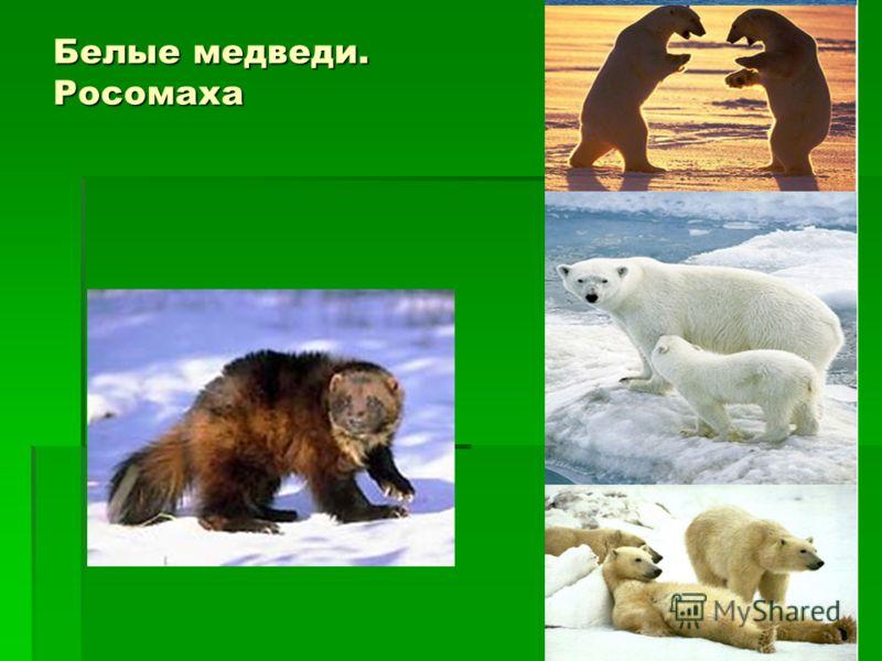 Белые медведи. Росомаха