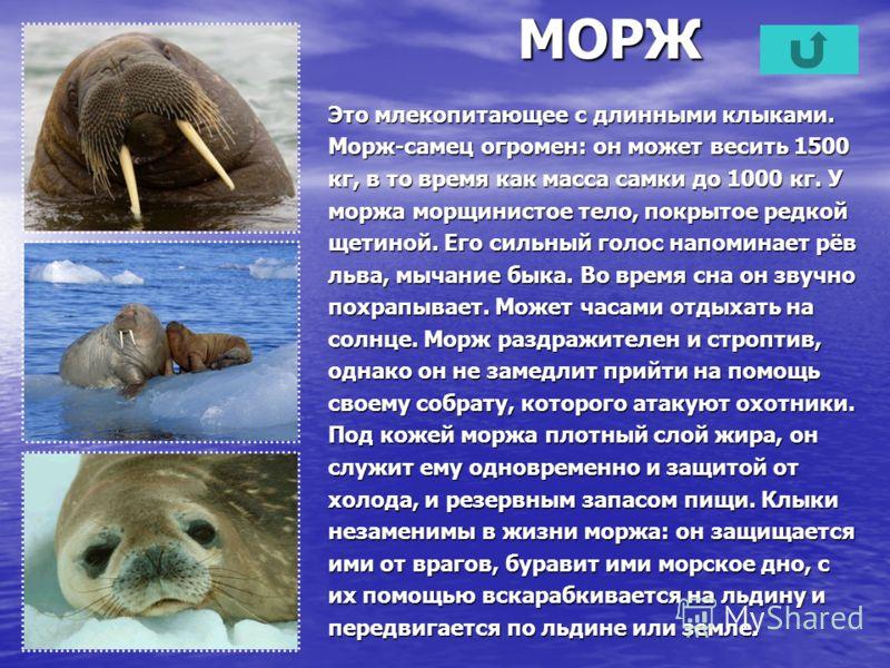 МОРЖ Это млекопитающее с длинными клыками. Морж-самец огромен: он может весить 1500 кг, в то время как масса самки до 1000 кг. У моржа морщинистое тело, покрытое редкой щетиной. Его сильный голос напоминает рёв льва, мычание быка. Во время сна он зву