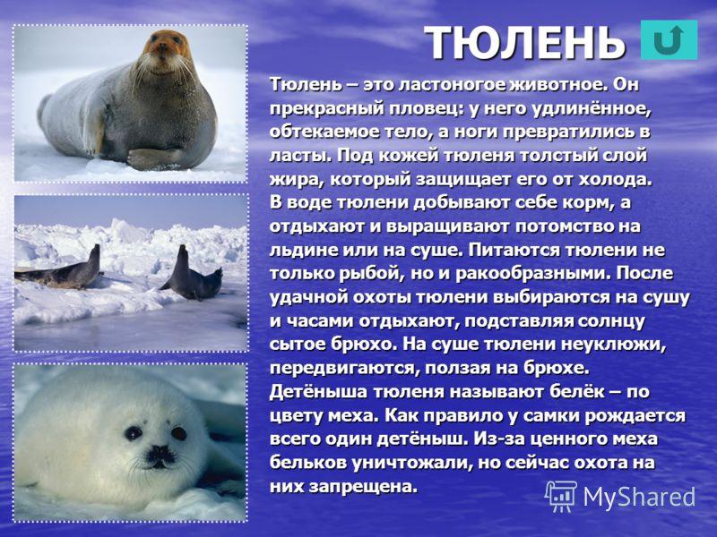 ТЮЛЕНЬ Тюлень – это ластоногое животное. Он прекрасный пловец: у него удлинённое, обтекаемое тело, а ноги превратились в ласты. Под кожей тюленя толстый слой жира, который защищает его от холода. В воде тюлени добывают себе корм, а отдыхают и выращив