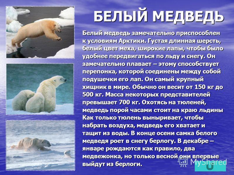 БЕЛЫЙ МЕДВЕДЬ Белый медведь замечательно приспособлен к условиям Арктики. Густая длинная шерсть, белый цвет меха, широкие лапы, чтобы было удобнее передвигаться по льду и снегу. Он замечательно плавает – этому способствует перепонка, которой соединен