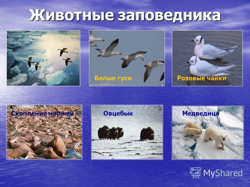 Животные заповедника Белые гуси МедведицаСкопление моржейОвцебык Розовые чайки