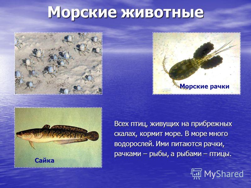 Морские животные Всех птиц, живущих на прибрежных скалах, кормит море. В море много водорослей. Ими питаются рачки, рачками – рыбы, а рыбами – птицы. Сайка Морские рачки