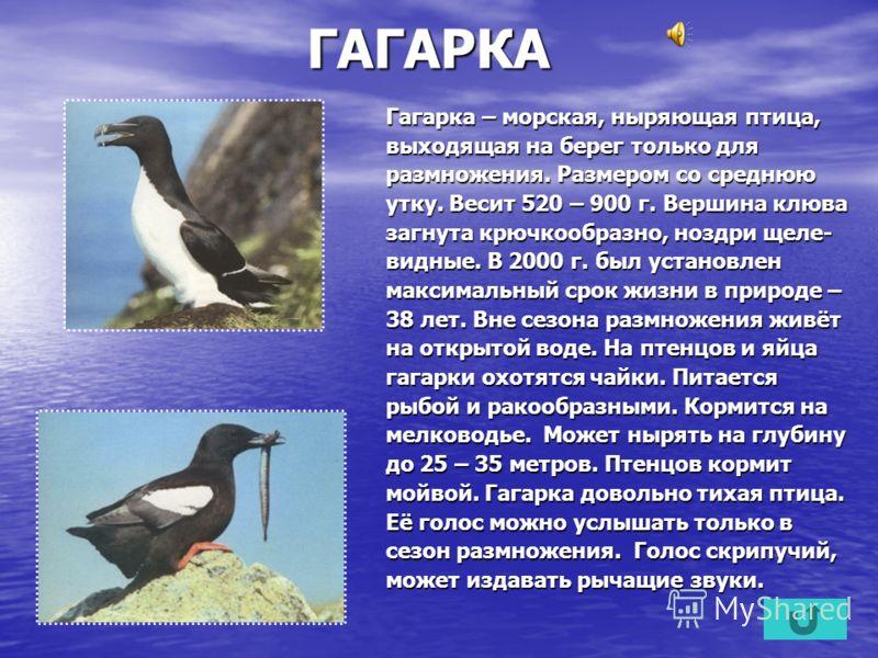 ГАГАРКА Гагарка – морская, ныряющая птица, выходящая на берег только для размножения. Размером со среднюю утку. Весит 520 – 900 г. Вершина клюва загнута крючкообразно, ноздри щеле- видные. В 2000 г. был установлен максимальный срок жизни в природе –