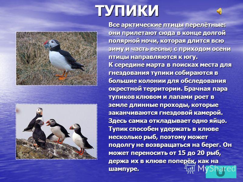 ТУПИКИ Все арктические птицы перелётные: они прилетают сюда в конце долгой полярной ночи, которая длится всю зиму и часть весны; с приходом осени птицы направляются к югу. К середине марта в поисках места для гнездования тупики собираются в большие к