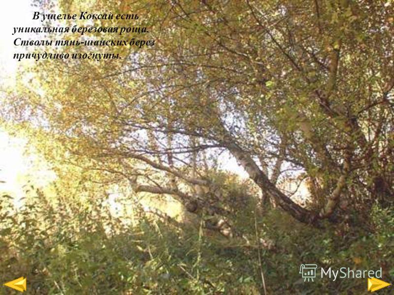 В ущелье Коксай есть уникальная березовая роща. Стволы тянь-шанских берез причудливо изогнуты.