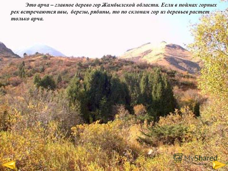 Это арча – главное дерево гор Жамбылской области. Если в поймах горных рек встречаются ивы, березы, рябины, то по склонам гор из деревьев растет только арча.