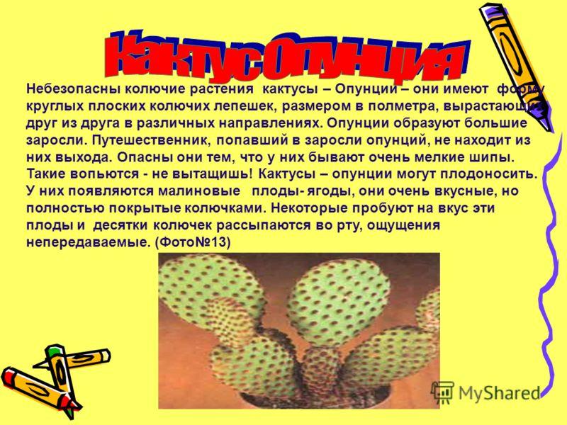 Небезопасны колючие растения кактусы – Опунции – они имеют форму круглых плоских колючих лепешек, размером в полметра, вырастающих друг из друга в различных направлениях. Опунции образуют большие заросли. Путешественник, попавший в заросли опунций, н