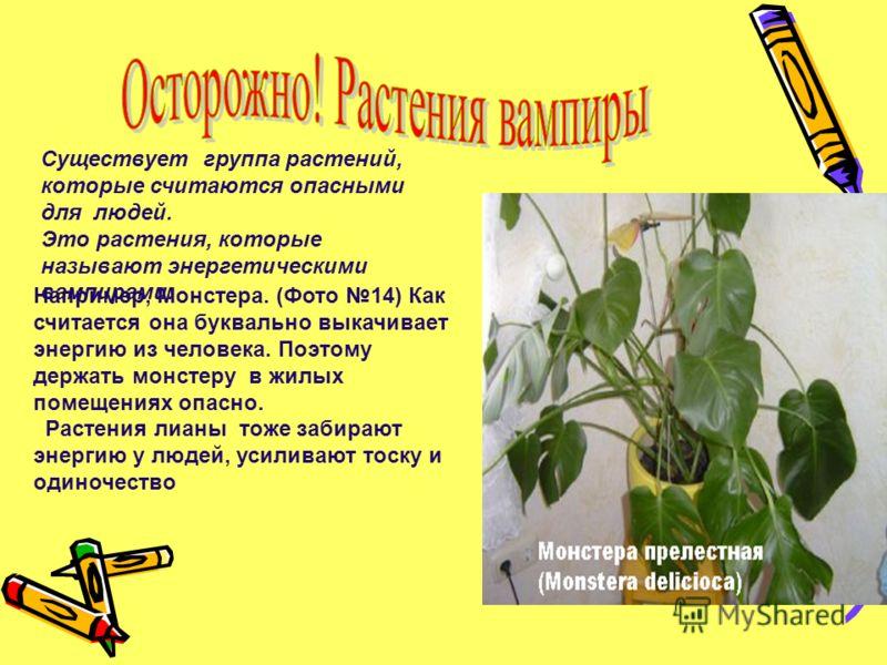 Существует группа растений, которые считаются опасными для людей. Это растения, которые называют энергетическими вампирами. Например, Монстера. (Фото 14) Как считается она буквально выкачивает энергию из человека. Поэтому держать монстеру в жилых пом
