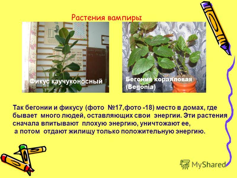 Так бегонии и фикусу (фото 17,фото -18) место в домах, где бывает много людей, оставляющих свои энергии. Эти растения сначала впитывают плохую энергию, уничтожают ее, а потом отдают жилищу только положительную энергию. Фикус каучуконосный Растения ва