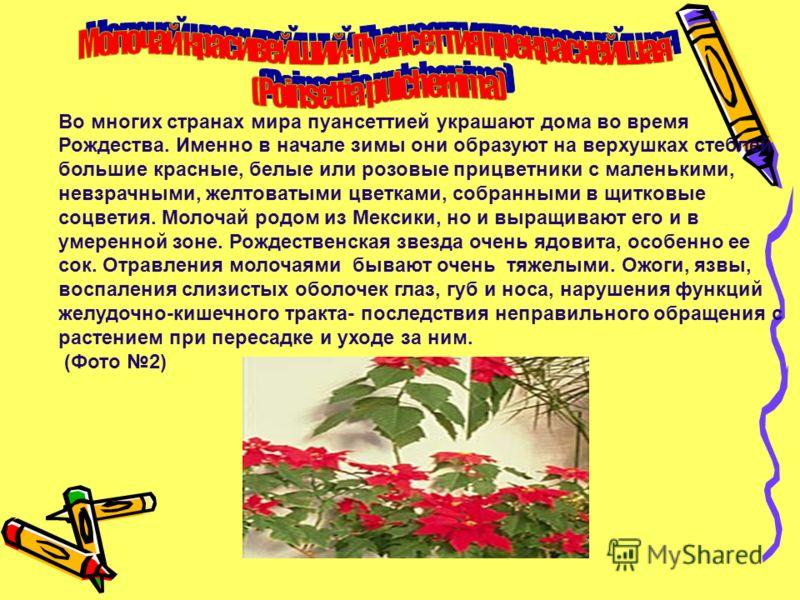 Во многих странах мира пуансеттией украшают дома во время Рождества. Именно в начале зимы они образуют на верхушках стеблей большие красные, белые или розовые прицветники с маленькими, невзрачными, желтоватыми цветками, собранными в щитковые соцветия