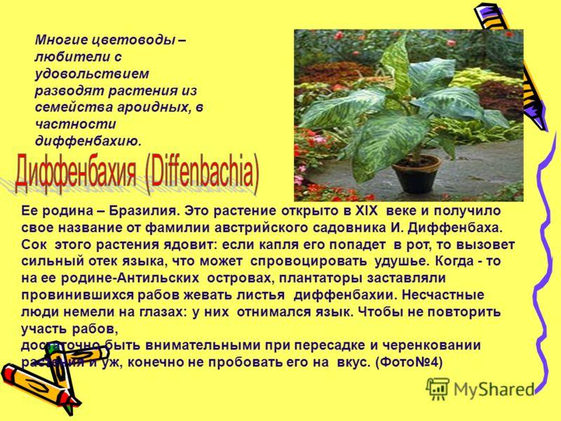 Многие цветоводы – любители с удовольствием разводят растения из семейства ароидных, в частности диффенбахию. Ее родина – Бразилия. Это растение открыто в XIX веке и получило свое название от фамилии австрийского садовника И. Диффенбаха. Сок этого ра