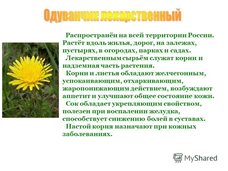 Распространён на всей территории России. Растёт вдоль жилья, дорог, на залежах, пустырях, в огородах, парках и садах. Лекарственным сырьём служат корни и надземная часть растения. Корни и листья обладают желчегонным, успокаивающим, отхаркивающим, жар