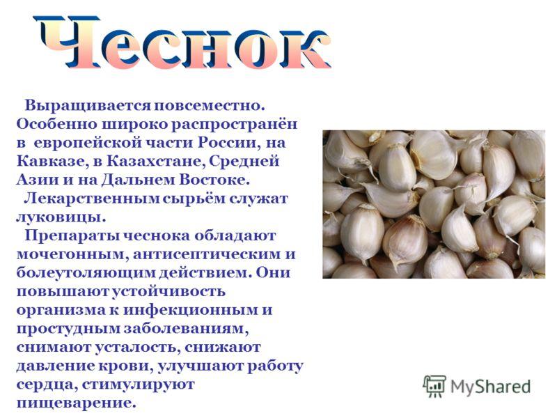 Выращивается повсеместно. Особенно широко распространён в европейской части России, на Кавказе, в Казахстане, Средней Азии и на Дальнем Востоке. Лекарственным сырьём служат луковицы. Препараты чеснока обладают мочегонным, антисептическим и болеутоляю