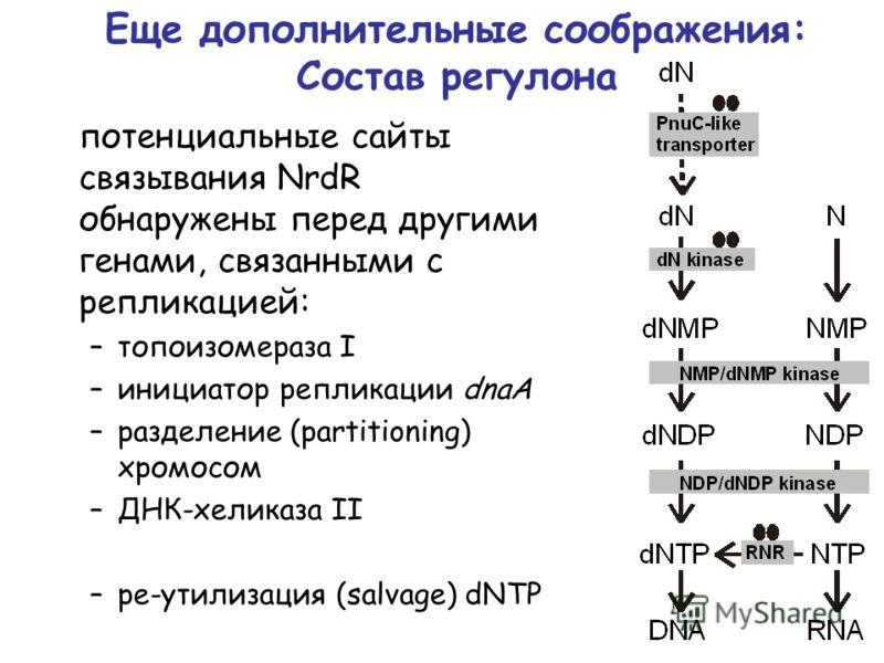 Еще дополнительные соображения: Состав регулона потенциальные сайты связывания NrdR обнаружены перед другими генами, связанными с репликацией: –топоизомераза I –инициатор репликации dnaA –разделение (partitioning) хромосом –ДНК-хеликаза II –ре-утилиз
