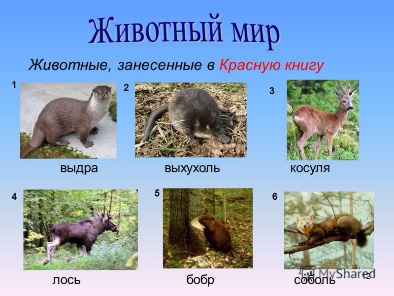 12 Животные, занесенные в Красную книгу выдравыхухолькосуля лосьбобрсоболь 1 2 3 4 5 6