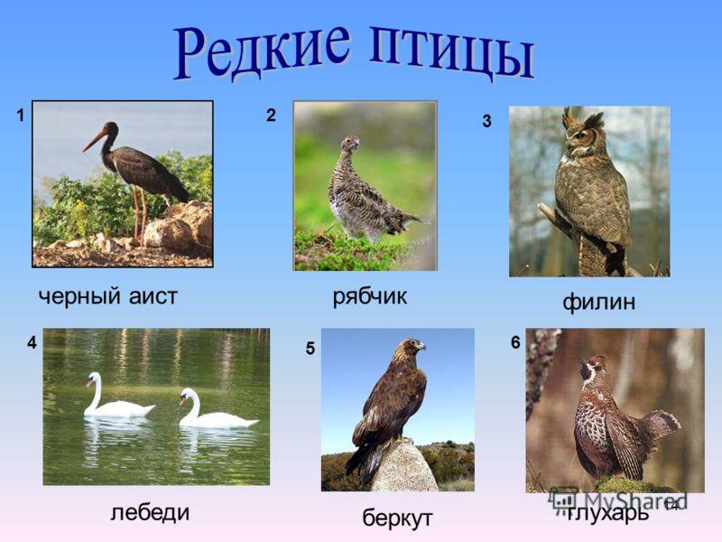 14 черный аистрябчик филин лебеди беркут глухарь 12 3 4 5 6