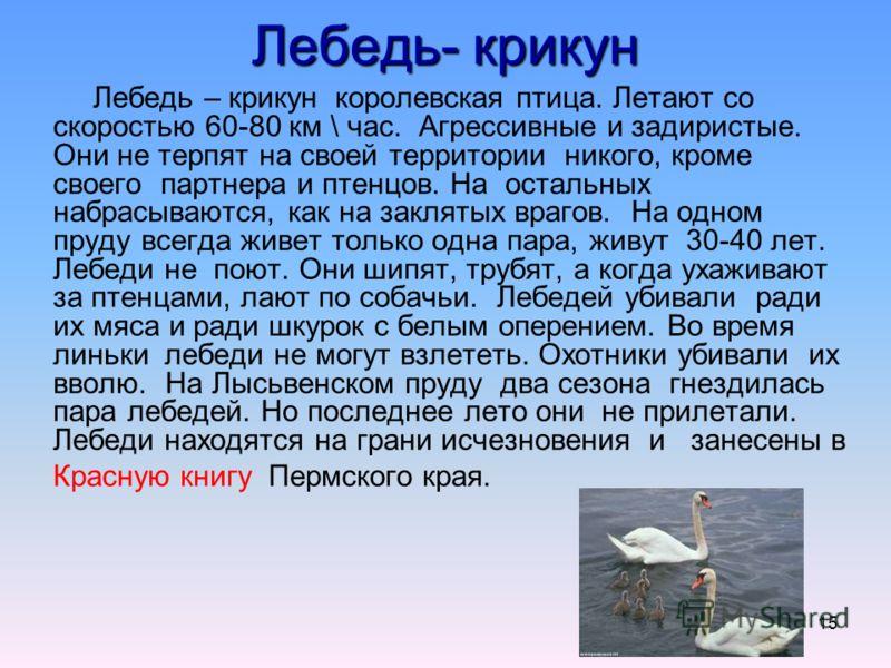 15 Лебедь- крикун Лебедь – крикун королевская птица. Летают со скоростью 60-80 км \ час. Агрессивные и задиристые. Они не терпят на своей территории никого, кроме своего партнера и птенцов. На остальных набрасываются, как на заклятых врагов. На одном