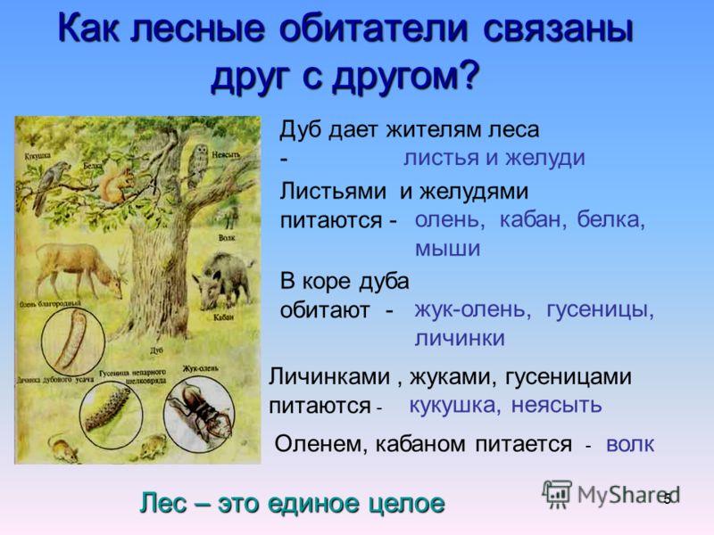 5 Как лесные обитатели связаны друг с другом? Дуб дает жителям леса - листья и желуди Листьями и желудями питаются - олень, кабан, белка, мыши В коре дуба обитают - жук-олень, гусеницы, личинки Личинками, жуками, гусеницами питаются - кукушка, неясыт