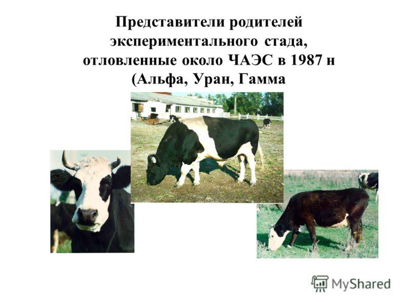 Представители родителей экспериментального стада, отловленные около ЧАЭС в 1987 н (Альфа, Уран, Гамма