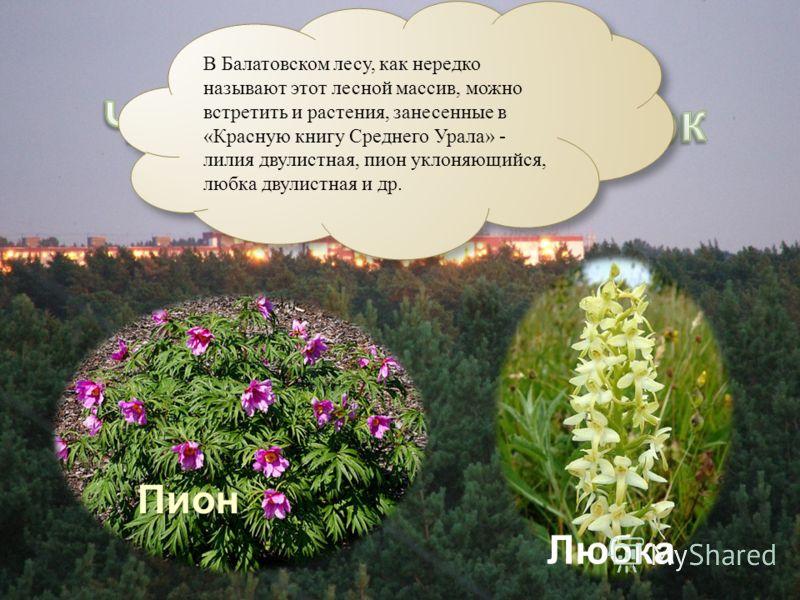 Пион Любка В Балатовском лесу, как нередко называют этот лесной массив, можно встретить и растения, занесенные в «Красную книгу Среднего Урала» - лилия двулистная, пион уклоняющийся, любка двулистная и др.