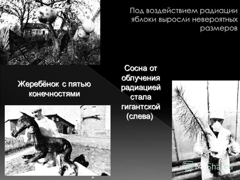 Жеребёнок с пятью конечностями Сосна от облучения радиацией стала гигантской (слева)Сосна от облучения радиацией стала гигантской (слева) Этот мальчик, из прилегающей к Чернобылю деревни, сам излучает радиацию Этот мальчик, из прилегающей к Чернобылю