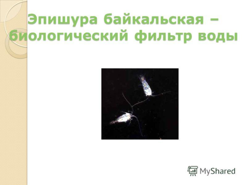 Эпишура байкальская – биологический фильтр воды