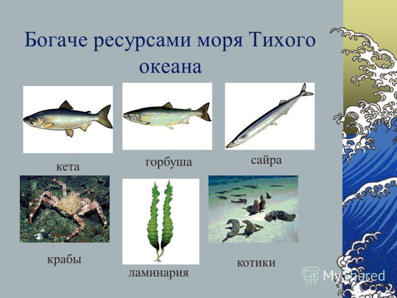 Баренцево море – самое богатое биологическими ресурсами из морей СЛО треска сельдь пикша