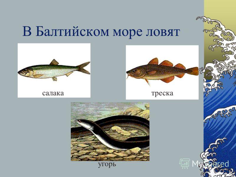 В Каспийском море находится 80% запасов осетровых рыб планеты Белуга Севрюга Стерлядь осётр