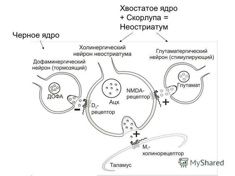 Хвостатое ядро + Скорлупа = Неостриатум Черное ядро