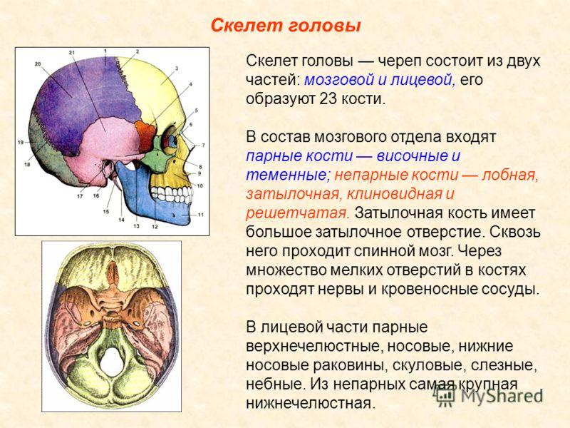 Скелет головы Скелет головы череп состоит из двух частей: мозговой и лицевой, его образуют 23 кости. В состав мозгового отдела входят парные кости височные и теменные; непарные кости лобная, затылочная, клиновидная и решетчатая. Затылочная кость имее