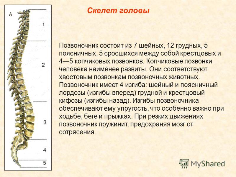 Скелет головы Позвоночник состоит из 7 шейных, 12 грудных, 5 поясничных, 5 сросшихся между собой крестцовых и 45 копчиковых позвонков. Копчиковые позвонки человека наименее развиты. Они соответствуют хвостовым позвонкам позвоночных животных. Позвоноч