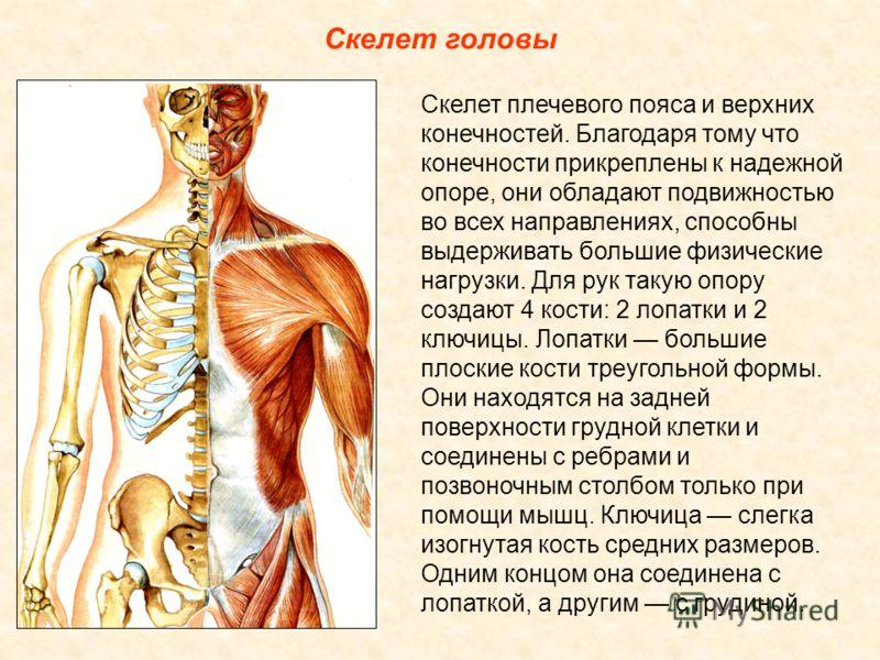 Скелет головы Скелет плечевого пояса и верхних конечностей. Благодаря тому что конечности прикреплены к надежной опоре, они обладают подвижностью во всех направлениях, способны выдерживать большие физические нагрузки. Для рук такую опору создают 4 ко
