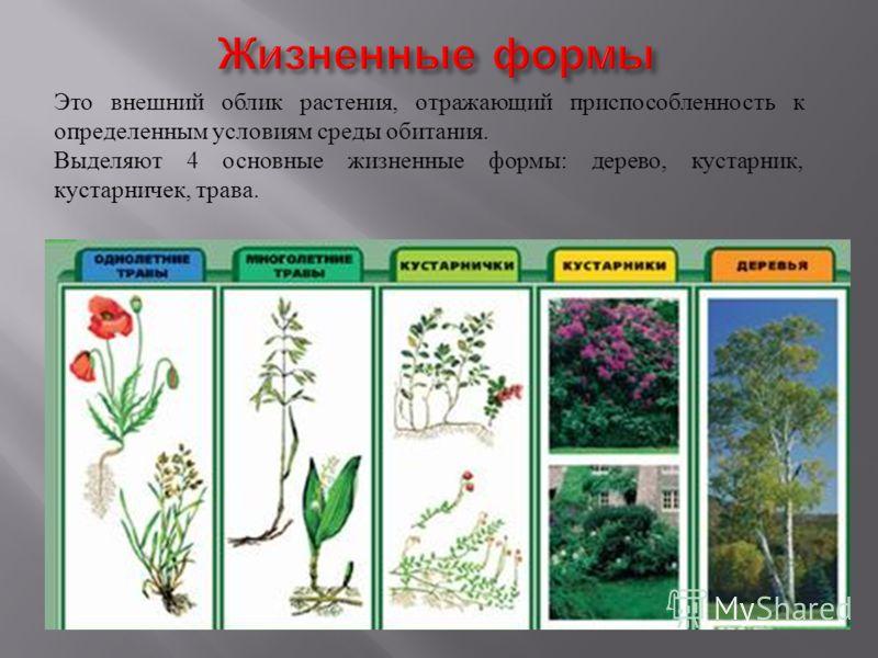 Это внешний облик растения, отражающий приспособленность к определенным условиям среды обитания. Выделяют 4 основные жизненные формы: дерево, кустарник, кустарничек, трава.