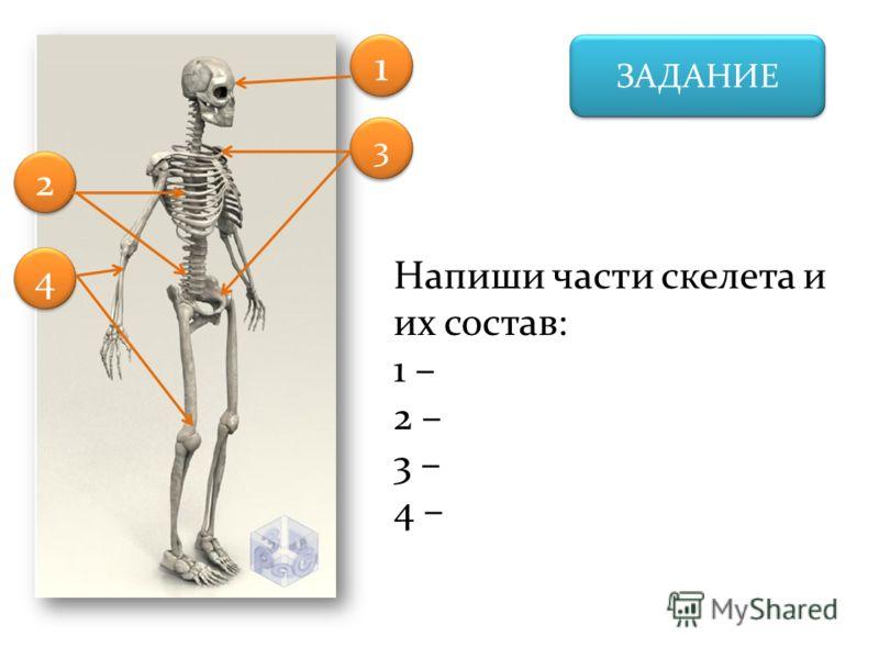 ЗАДАНИЕ Напиши части скелета и их состав: 1 – 2 – 3 – 4 – 1 1 3 3 2 2 4 4
