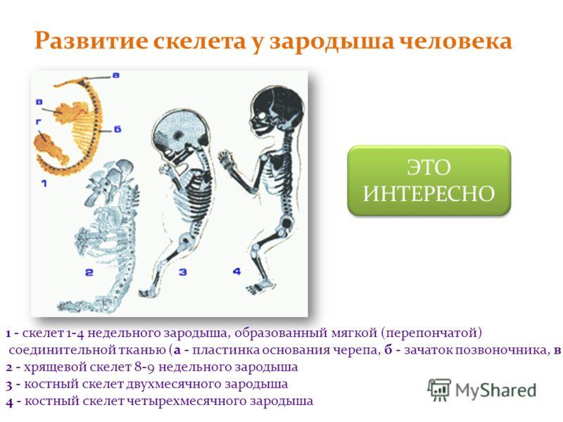 Развитие скелета у зародыша человека 1 - скелет 1-4 недельного зародыша, образованный мягкой (перепончатой) соединительной тканью (а - пластинка основания черепа, б - зачаток позвоночника, в - зачаток руки, г - зачаток ноги) 2 - хрящевой скелет 8-9 н