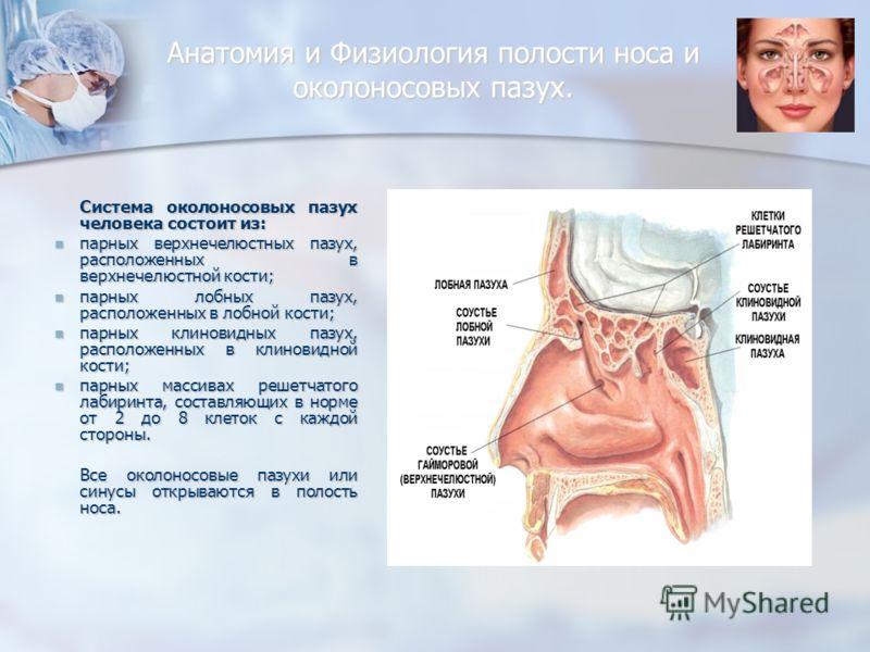 Анатомия и Физиология полости носа и околоносовых пазух. Система околоносовых пазух человека состоит из: парных верхнечелюстных пазух, расположенных в верхнечелюстной кости; парных верхнечелюстных пазух, расположенных в верхнечелюстной кости; парных
