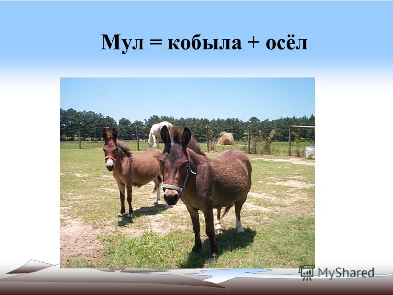 Мул = кобыла + осёл