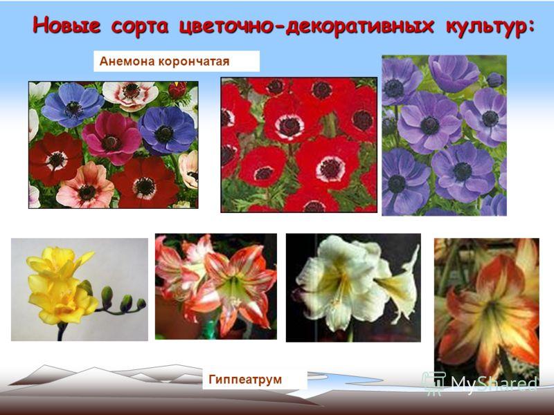 Новые сорта цветочно-декоративных культур: Анемона корончатая Гиппеатрум