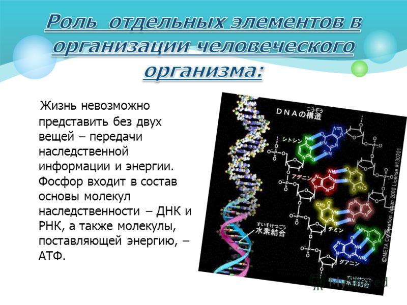 Жизнь невозможно представить без двух вещей – передачи наследственной информации и энергии. Фосфор входит в состав основы молекул наследственности – ДНК и РНК, а также молекулы, поставляющей энергию, – АТФ.