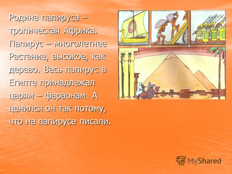 Родина папируса – тропическая Африка. Папирус – многолетнее Растение, высокое, как дерево. Весь папирус в Египте принадлежал царям – фараонам. А ценился он так потому, что на папирусе писали.