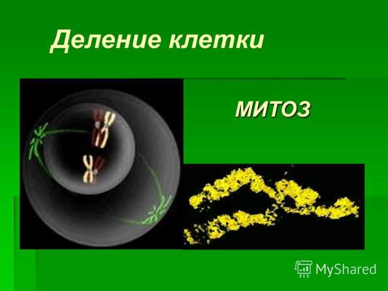 МИТОЗ Деление клетки