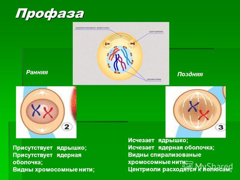 Присутствует ядрышко; Присутствует ядерная оболочка; Видны хромосомные нити; Исчезает ядрышко; Исчезает ядерная оболочка; Видны спирализованые хромосомные нити; Центриоли расходятся к полюсам; Поздняя Ранняя Профаза