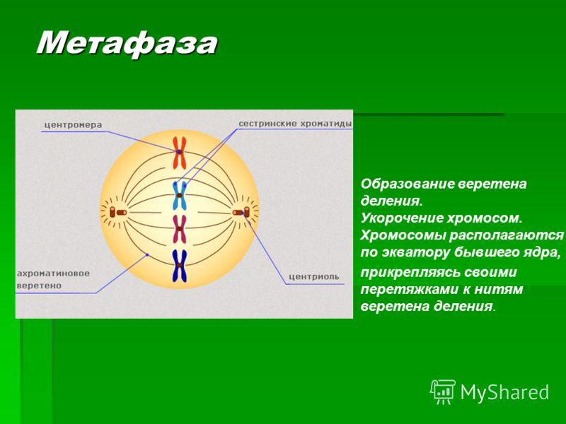 Образование веретена деления. Укорочение хромосом. Хромосомы располагаются по экватору бывшего ядра, прикрепляясь своими перетяжками к нитям веретена деления. Метафаза