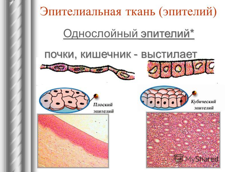 Эпителиальная ткань (эпителий) эпителий* Однослойный эпителий* почки, кишечник - выстилает