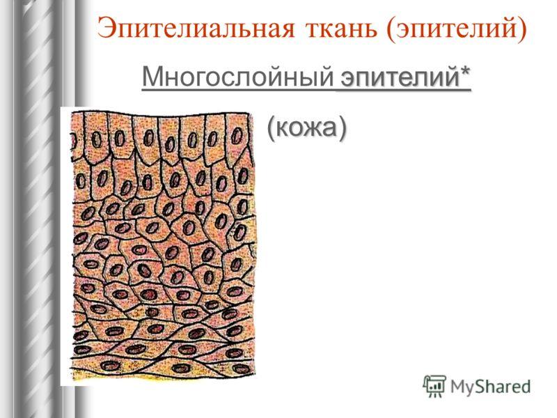 Эпителиальная ткань (эпителий) эпителий* Многослойный эпителий*(кожа)