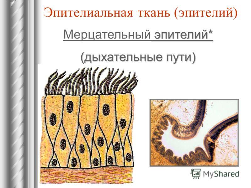 Эпителиальная ткань (эпителий) эпителий* Мерцательный эпителий* (дыхательные пути)