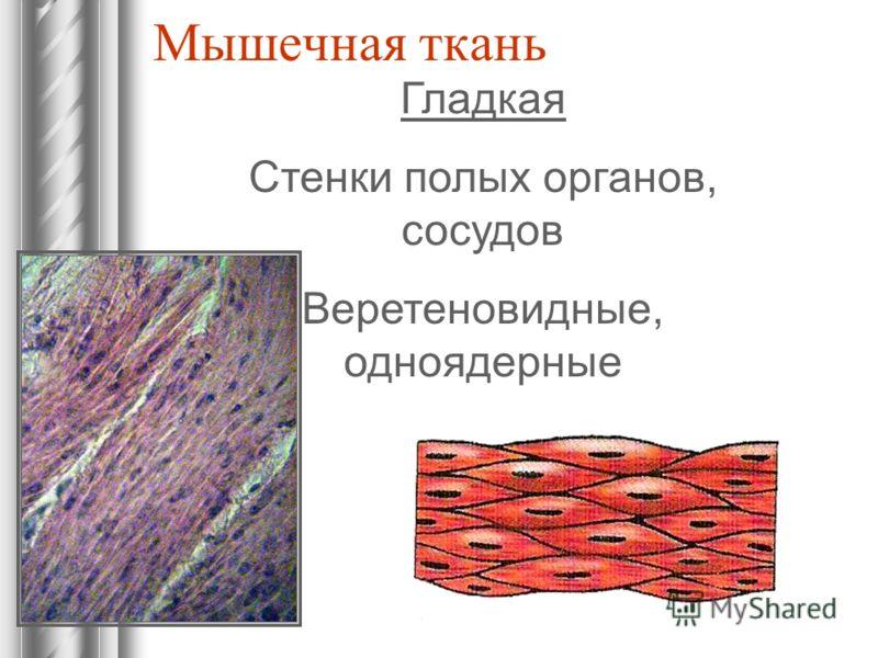 Мышечная ткань Гладкая Стенки полых органов, сосудов Веретеновидные, одноядерные