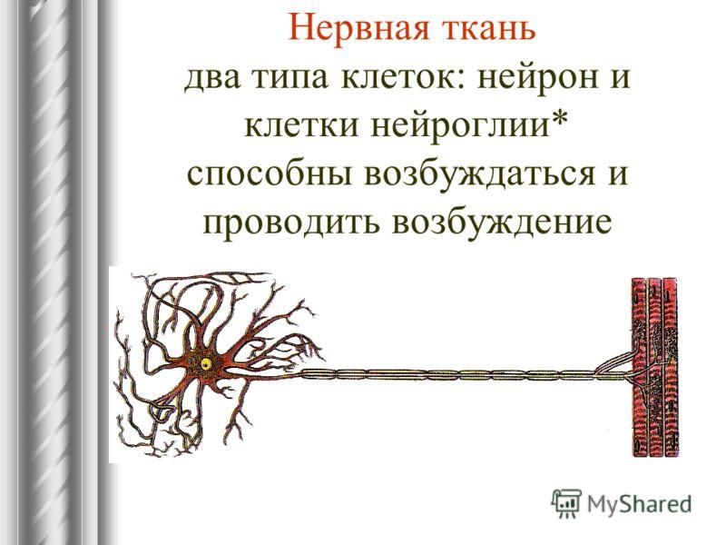 Нервная ткань два типа клеток: нейрон и клетки нейроглии* способны возбуждаться и проводить возбуждение